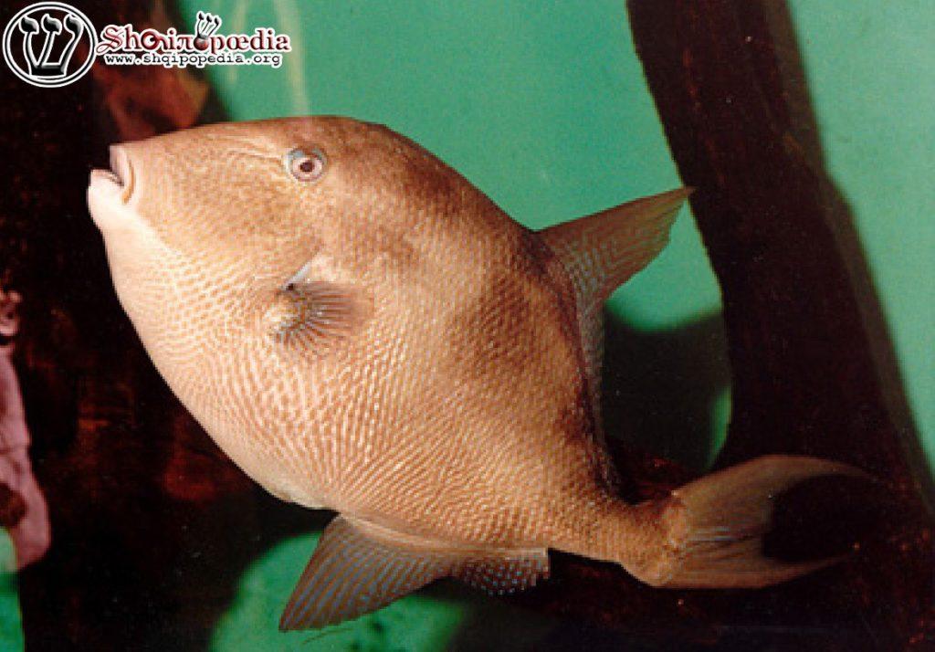 Peshku derr